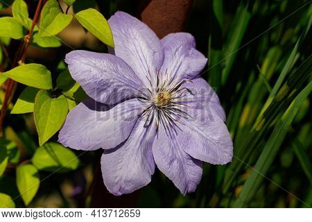 Close-up Of Pastel Violet Clematis Flower In The Summer Garden. Macro Photography Of Lively Nature.