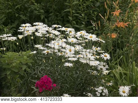 White Marguerite Flowers Or Argyranthemum Blossom On A Green Meadow