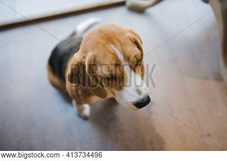 Beagle, English Beagle. The Dog Sitting Quietly Under The Table