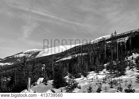 Buried In Snow Forest And Dry Trees In The Giant Mountains In Poland, Monochrome