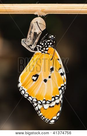The Plain Tiger (danaus Chrysippus Chrysippus) Butterfly