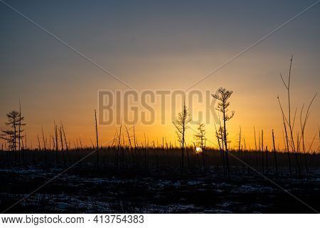 Burnt Pine Trunks After A Forest Fire Sunny Sunset, Evening In The Burnt Forest.