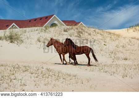 The wild horses of Corolla on the Outer Banks, North Carolina wander freely on the beach and along the ocean.  Horse tours are  a popular activity while on vacation in the OBX.