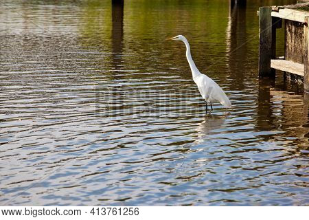 White egrets are common in the swamp and marshes in the Outer Banks of North Carolina