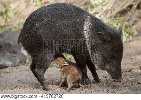 Collared Peccary (also Javelina Or Skunk Pig Or Pecari Tajacu) Is A Medium-sized Pig-like Hoofed Mam