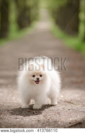 Image Of Pomeranian Spitz In The Garden. Cute White Little Dog Outdoor.