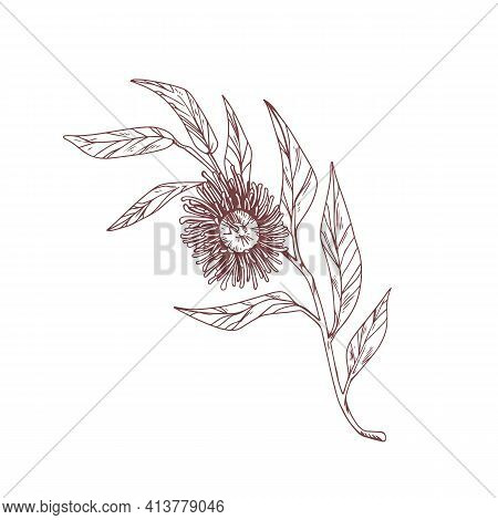 Blooming Eucalyptus Flower Isolated On White. Vintage Drawing Of Botanical Element With Blossomed Bu