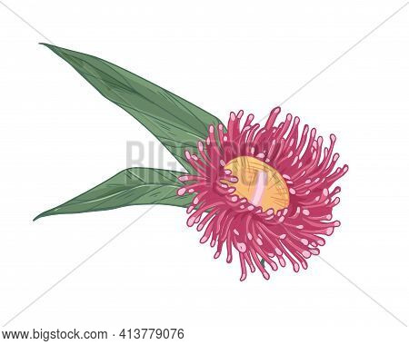 Blooming Bright Eucalyptus Flower With Leaves Isolated On White Background. Beautiful Blossomed Bud