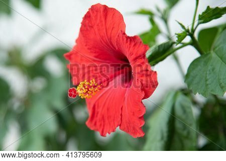 Red Beautyful Hibiscus Flower On Blurred Background.