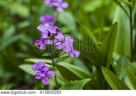 Annual Honesty. Violet Flowers On The Spring Macrophoto.