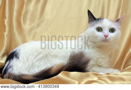 Beautiful Fluffy Three-colored Cat With A Fluffy Tail