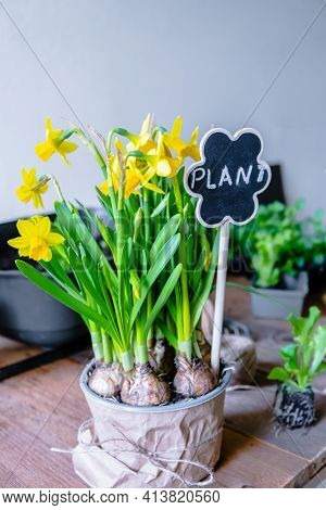 Yellow Daffodil Flowers. Seeds Grow In Pot Indoors In Winter Time. Bouquets Of Daffodils