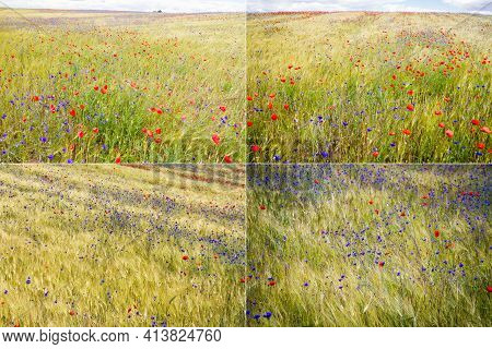 Collection Of Images With Blooming Cornflower -centaurea Cyanus - In Rye And Poppy Field On A Sunny