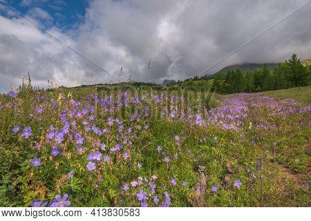 Beautiful Bright Blue Flowers Of Geranium (geranium Pratense) On A Green Meadow On A Mountainside Ag