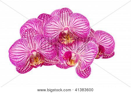 pile of mauve  orchid flowers  isolated on white background poster