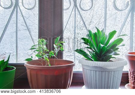 Aspidistra And Ficus. A Plant In White Pot On A Windowsill Home Plant. Winter. Nature