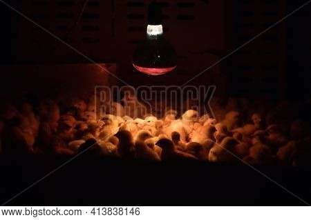 Artificial Lighting In Poultry Farm For Breeding Chickens