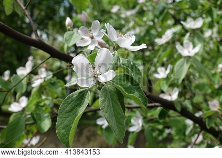 Some Pinkish White Flowers In The Leafage Of Quince Tree In May