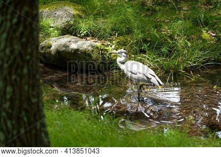 Close Up Japanese White Egret While Walking In Clear Waterway Or Canal In Garden ,japan.