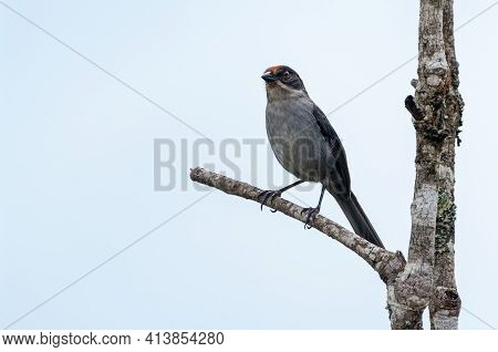 Antioquia Brush-finch (atlapetes Blancae) Perched On A Pole On Top Of A Tree In Santa Rosa De Osos