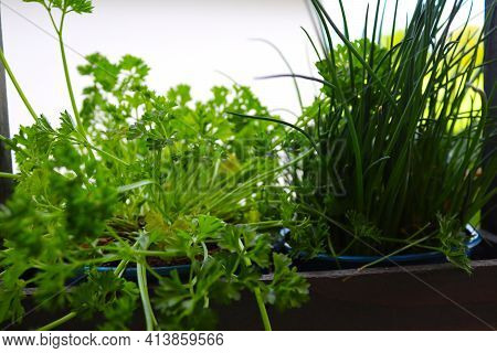 Parsley And Chives In A Flower Box