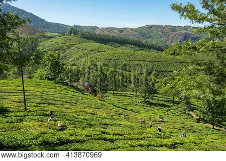 Munnar, India - January 28, 2020: Unidentified indian women picking up fresh tea leaves at Munnar tea plantation in Kerala state, India