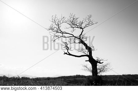 Silhouette of a single leafless gnarly tree in winter season, dark trunk and branches against sunny bright sky, black and white photography