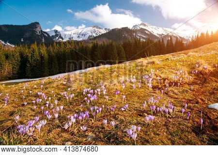 Alpine meadows are covered violet crocus flowers on spring High Tatras mountains. Location place Kalatowki valley, Zakopane, Poland. Picturesque springtime wallpaper. Discover the beauty of earth.