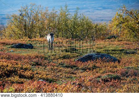 Autumn Landscape With A Reindeer In Nordic Nature. Northern Sweden