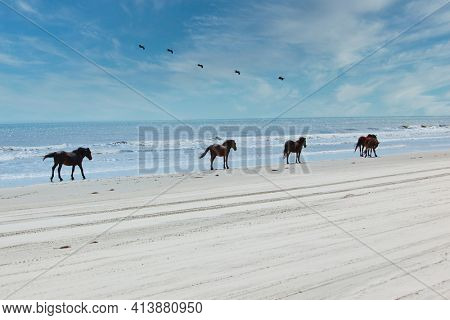 Wild horses roam the beaches of Corolla on the Outer Banks of North Carolina.