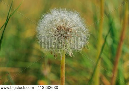 Flowers Of Dandelion In Detail With Seeds On The Stem. Withered Dandelions In Summer. Meadow Flower