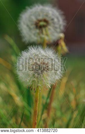 Two Dandelions In Summer. Flowers In Detail With Seeds On The Stem. Withered Dandelions In Summer. M