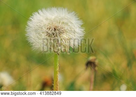 Blossom Of A Dandelion In Spring. Flower In Detail With Seeds On The Stem. White Fibers Of The Flyin