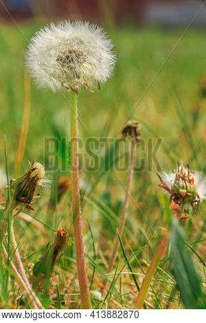 Meadow With A Dandelion Flower And Grass In Spring. Flower In Detail With Seeds On The Stem In Sunsh