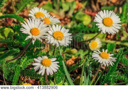 Several Flowers Of The Daisy In A Meadow. White Petals In Spring Sunshine. Yellow Flower Pollen With