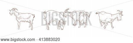 Domestic Goats, A Set Of Illustrations In Various Positions. For Use In Advertising A Goat Farm.