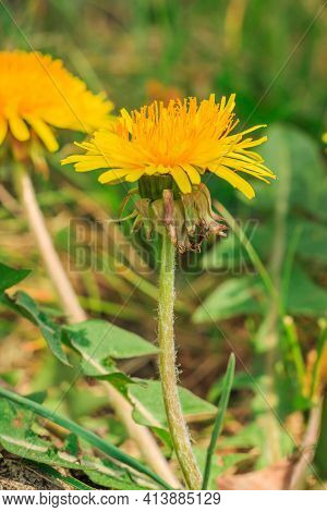 Common Dandelions (taraxacum) In Spring. Yellow Flower In A Meadow With Single Petals. Green Petals