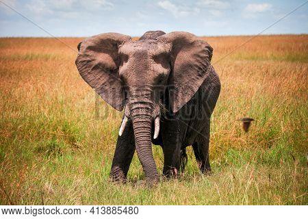African Bush Elephant (loxodonta Africana) In A Grassland