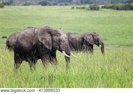 Herd Of The African Bush Elephants (loxodonta Africana) In A High Green Grass