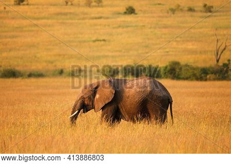 African Bush Elephant (loxodonta Africana) Staying In A High Yellow Grass During The Sunset