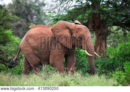 African Bush Elephant (loxodonta Africana) Staying In A Green Forest