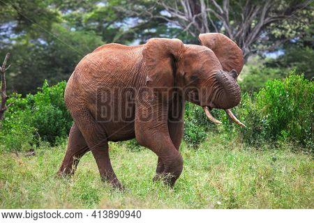 African Bush Elephant (loxodonta Africana) Running Through The Green Bush