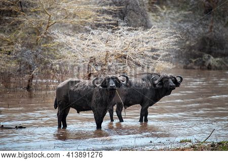 Two African Buffaloes (syncerus Caffer) Or Cape Buffaloes Staying In A Dirty Water