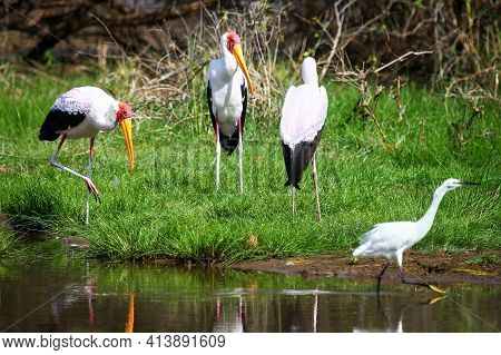 Three Yellow-billed Storks (mycteria Ibis) Also Called The Wood Storks Or Wood Ibises And The Great