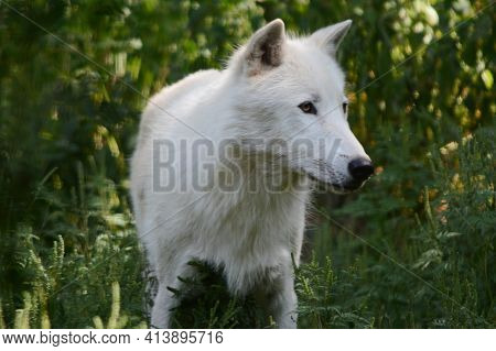 Shaded Summer Closeup On An Arctic Wolf, Standing Still In Upland Forest Habitat.