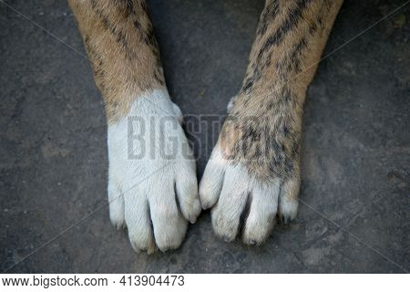 The Paws Of A Large And Large Breed Dog Lie On A Rocky Texture. The Dog Lies With Its Paws Stretched