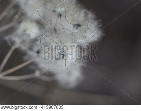 Close Up Macro Of White Fluffy Dry Plant Seeds On Brown Bokeh Background. Selective Focus, Copy Spac