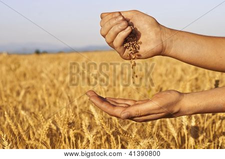 Wheat seeds falling in hand in wheat field background poster