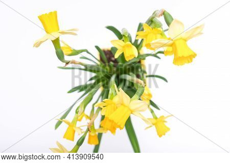 First Spring Yellow Blooming Potted Flowers Narcissus Against White Background, Top View