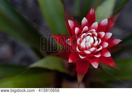 Red And White Bromeliad Flower With A Convergent Lady Beetle Also Called The Ladybug Hippodamia Conv